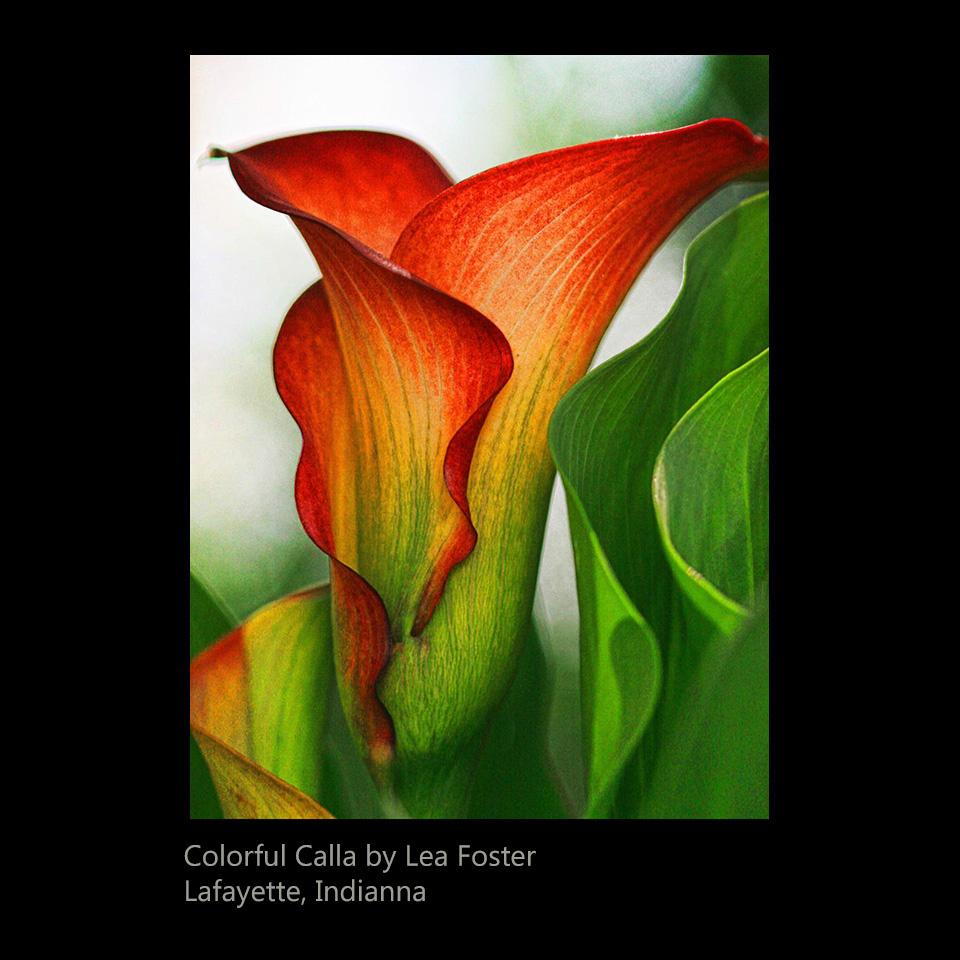 Foster, Lea - Colorful Calla