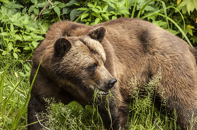 """Grizzly"" by Bernie Bryson -  Photograph"